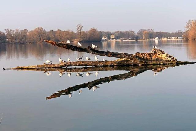 Offenburger Gifizsee bleibt ein Versuchslabor