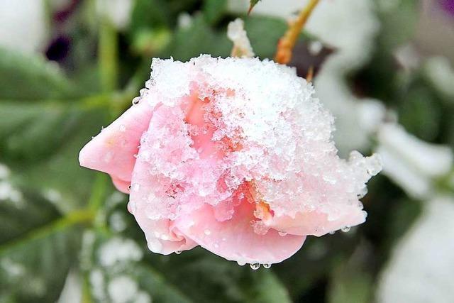 Ein Hauch von Rosé unterm Schnee