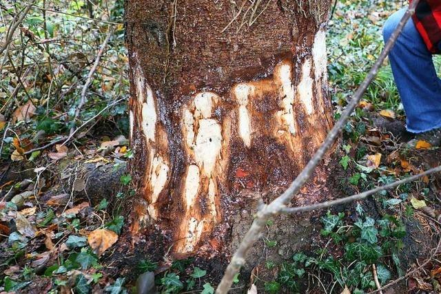 Unbekannte ramponieren indianischen Friedensbaum von Dundenheim