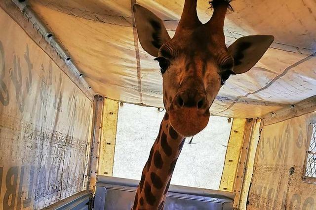 Am Weiler Autobahnzoll werden auch Giraffen abgefertigt