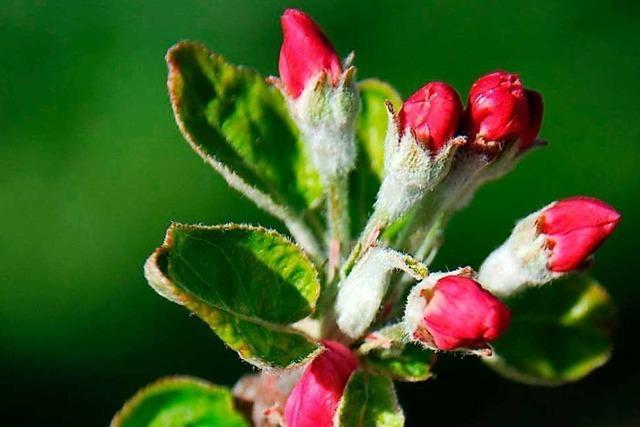 In Buchholz öffnen die ersten Apfelbäume ihre Blüten