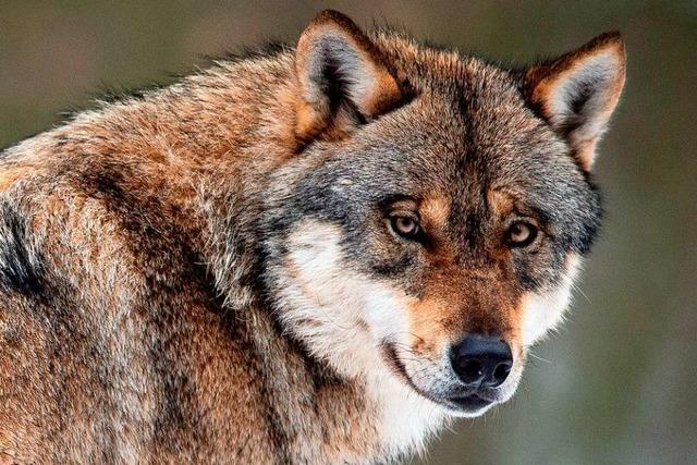 In Waldshut-Tiengen hat ein Wolf drei Schafe gerissen