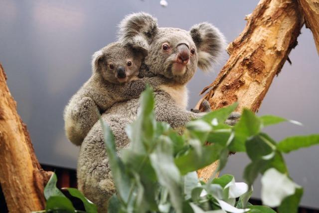 Fotos: Nashörnchen und Koala-Babys – Tierparks freuen sich über Nachwuchs