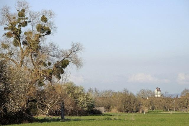 Runde Büschel in den Bäumen