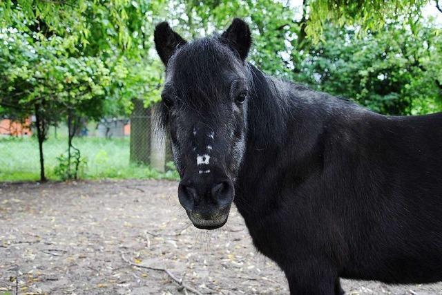 In Merzhausen gehen drei Ponys durch