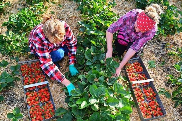Landwirt aus dem Renchtal bezahlte 38 Erntehelfer bis zu fünf Euro unter Mindestlohn