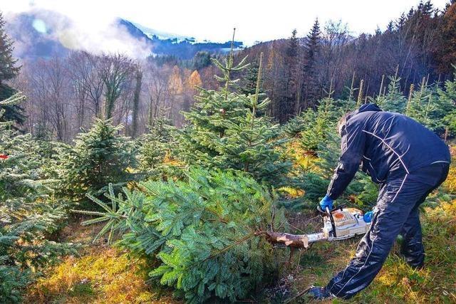 Christbaumkulturen müssen das ganze Jahr über gepflegt werden