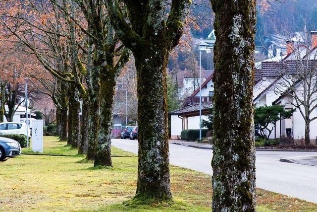 51 Bäume in Waldkirch haben den Sommer nicht überlebt
