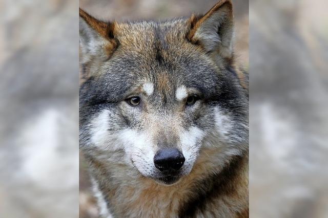 Die Wölfe sind zurück in Deutschland