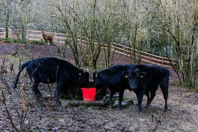 Warum im Schwarzwaldzoo gerade 3 Rinder um die Wette blöken