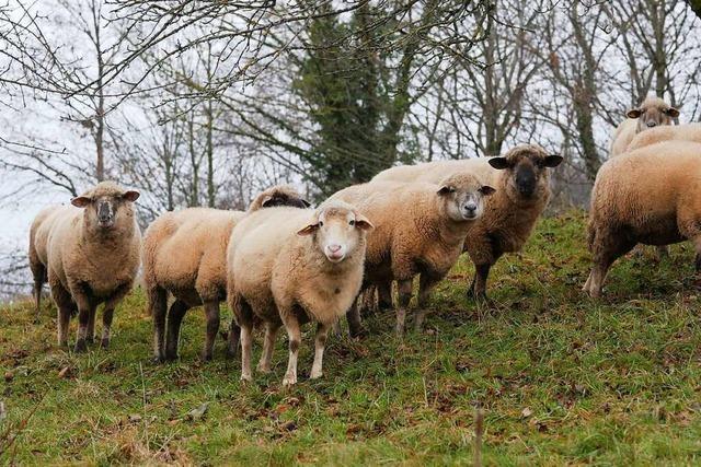Schafhalter in der Region Freiburg rüsten sich gegen Wolfsangriffe