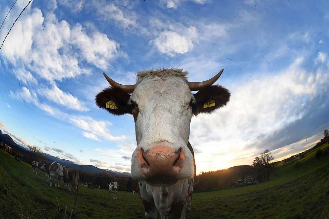 In Wittelbach werden auch Kühe geschlachtet.  | Foto: Felix Hörhager