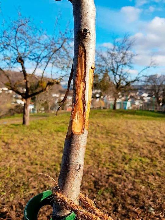 Ringsherum abgeschnittene Rinde und ab...die Setzlinge der Eidmanns beschädigt.    Foto: Axel Eidmann