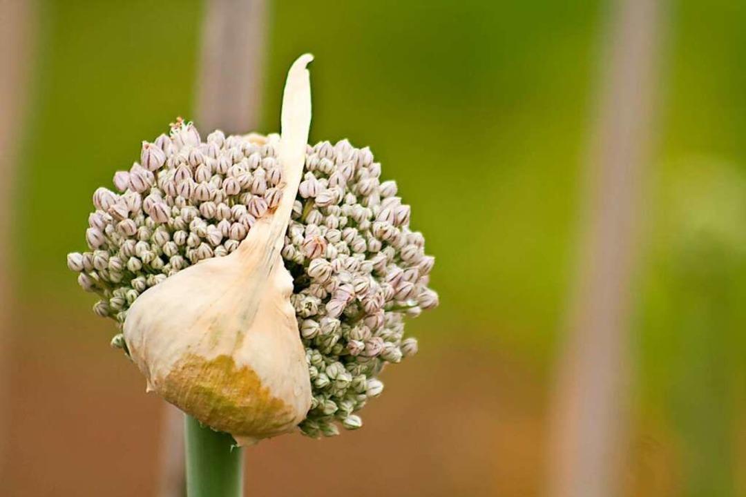 Der Blütenstand des Lauchs  | Foto: SWR/Promo