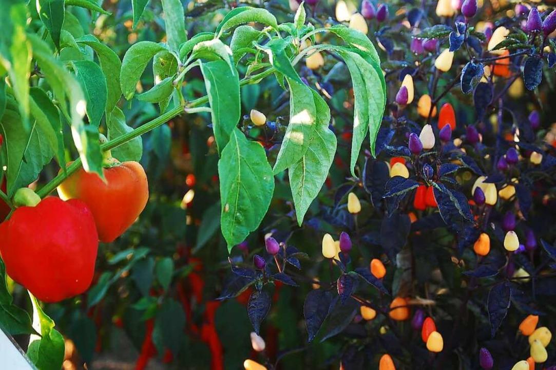 80 Paprikasorten gibt es im Garten.  | Foto: SWR/Promo