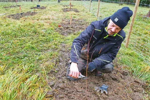Alte Weinbergpfirsichsorten werden am Tüllinger wieder angepflanzt
