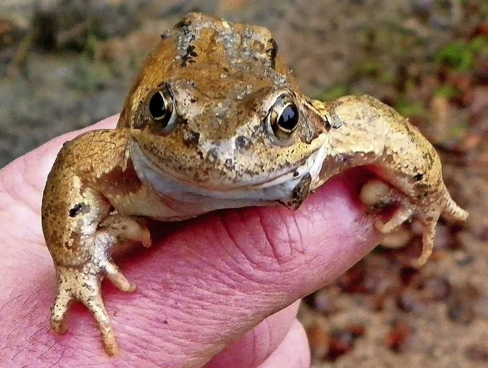 Kümmert sich um Amphibien wie den Gras...m Castellberg: der AK Natur und Umwelt  | Foto: Jennifer Ruh