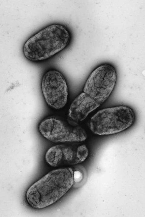 Eine elektronenmikroskopische Aufnahme zeigt das Pestbakterium Yersinia pestis  | Foto: Robert-Koch-Institut