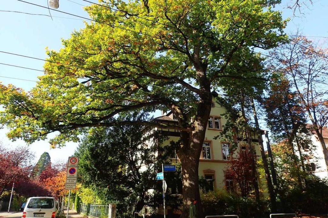 Auch diese alte Eiche an der Güntersta...er besonderen Schutz gestellt werden.   | Foto: Sabine Rennwald / Stadt Freiburg