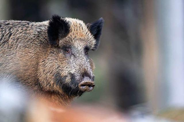Wildschwein im Müllheimer Freibad