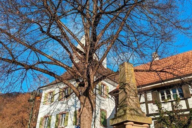 Die Winterlinde ist Baum des Jahres 2016 und steht am Rathaus