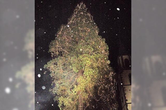 Mammutbaum leuchtet weiter