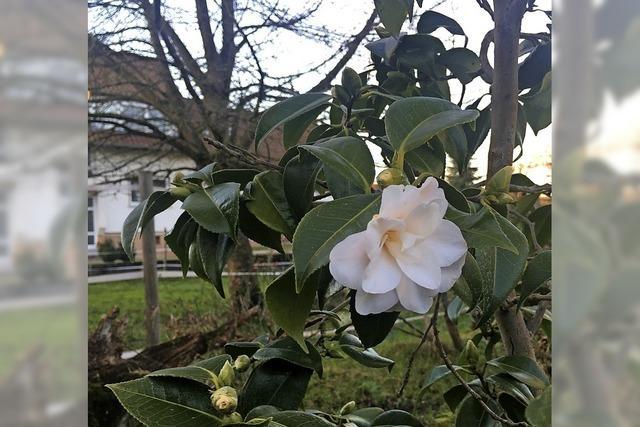 Pünktliche Blüte in Ottenheim