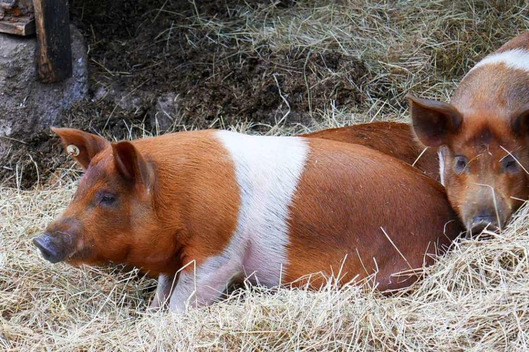 Rot-weißes Protestschwein – gezü...agge nicht mehr gehisst werden durfte.  | Foto: Dörte Nohrden (dpa)