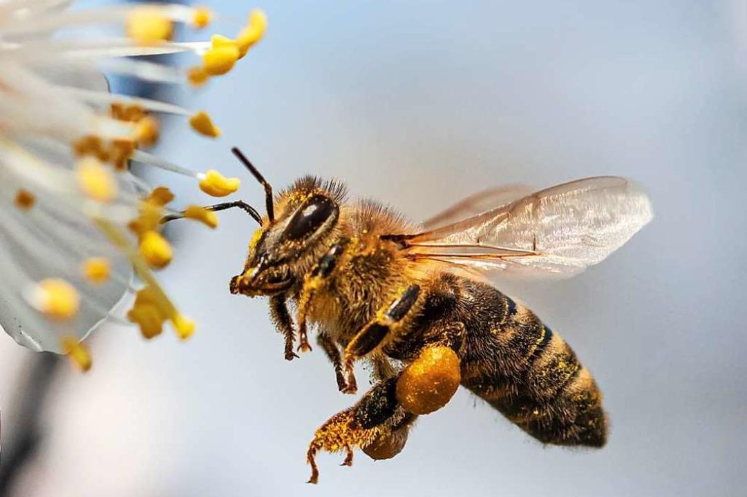 Biene im Anflug an eine Blüte: An den ...ie gesammelten Pollen gut zu erkennen.  | Foto: schankz  (stock.adobe.com)