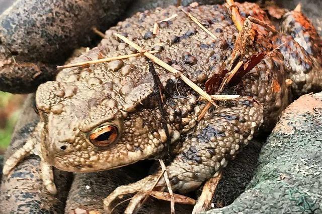 Der Nabu sucht Helfer zur Betreuung von Amphibienzäunen