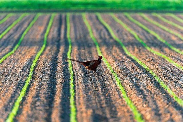 So wird der Acker zur Heimat für Mais und Fasan
