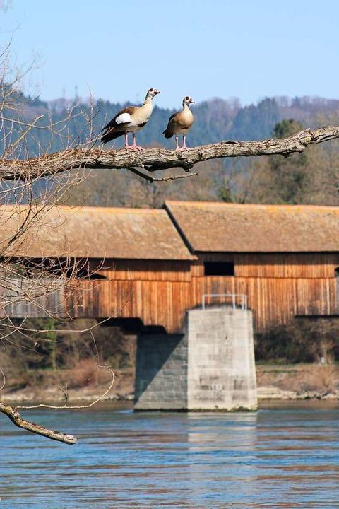 Nilgänse am Bad Säckinger Rheinufer  | Foto: Annika Sindlinger