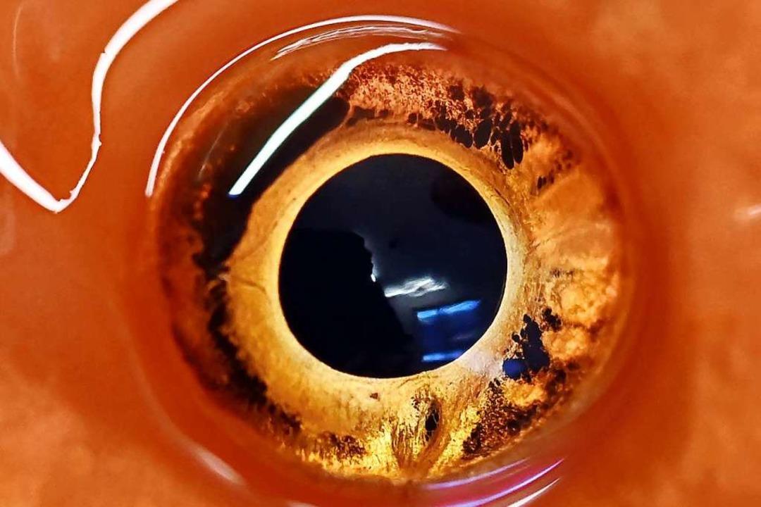 Das Auge eines betäubten Goldfischs  | Foto: Uli Deck (dpa)