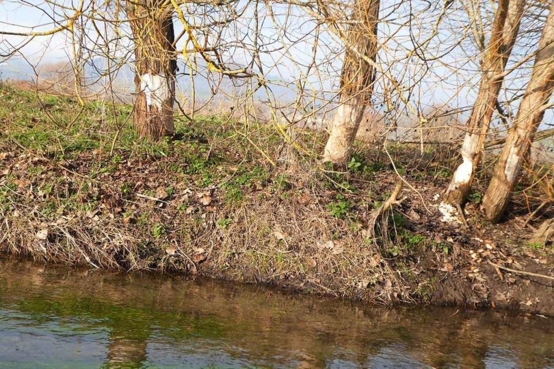 Am Neugraben haben Biber eine Gruppe von Weiden benagt.  | Foto: Manfred Frietsch