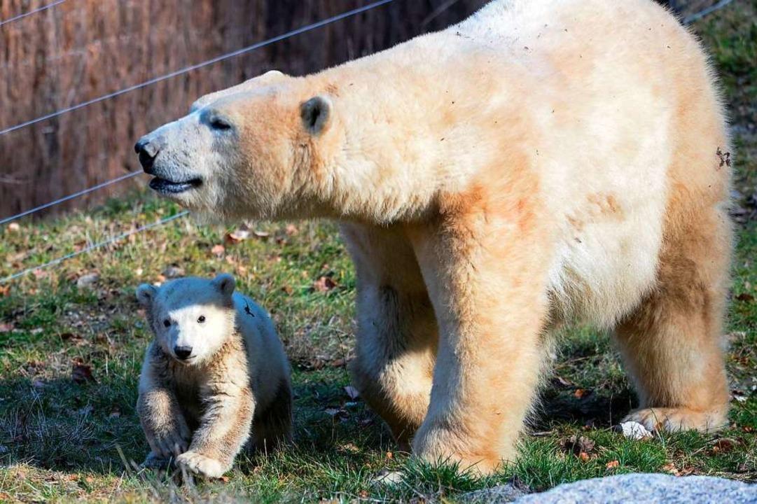Sessi mit ihrem ersten Eisbärbaby Nanuq, 2017.  | Foto: SEBASTIEN BOZON