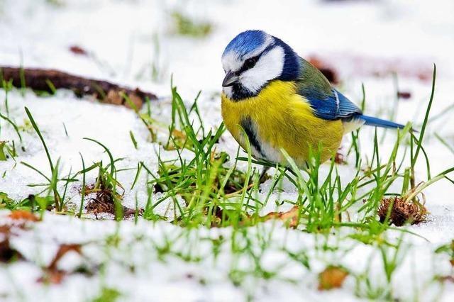 Weniger Vögel im Südwesten bei Mitmachaktion gezählt