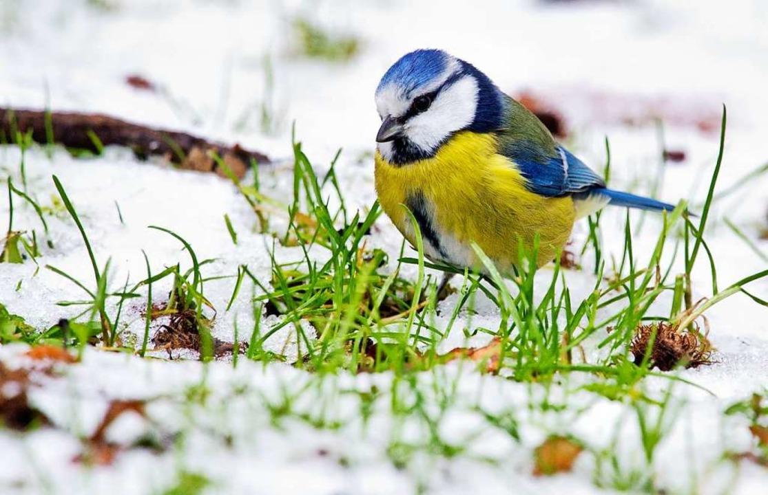 Eine Blaumeise  sucht nach Nahrung im Schnee.  | Foto: Julian Stratenschulte (dpa)