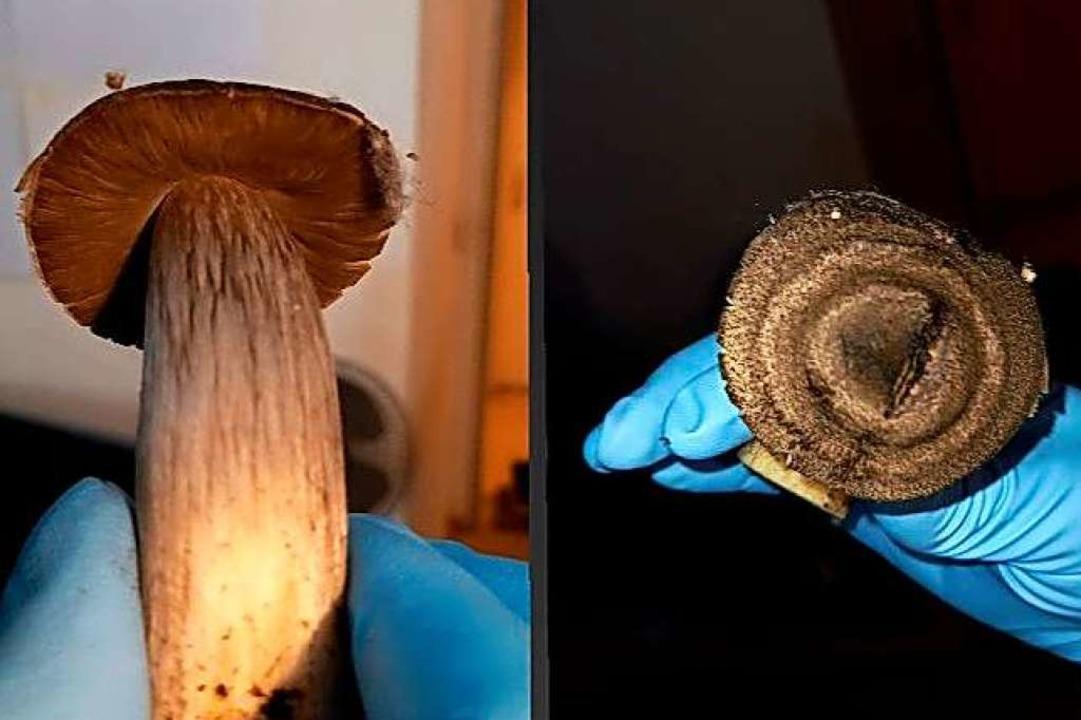 Aus dem  verfaulten Boden wachsen Schirmpilze.  | Foto: Bewohner Dammweg