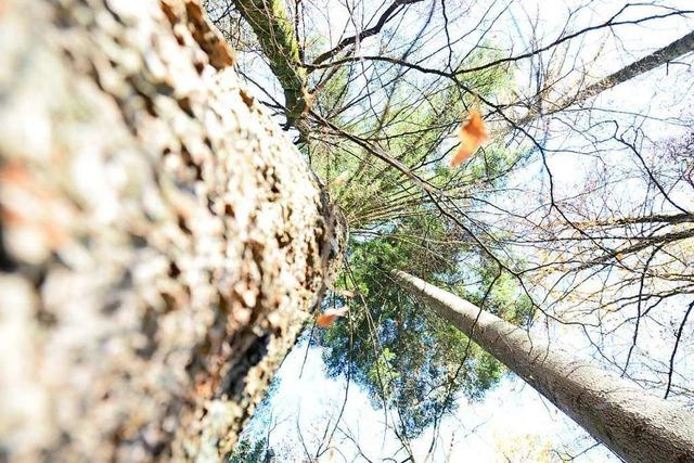 Kanderns Forst ist ein Vorbild für den Wald der Zukunft