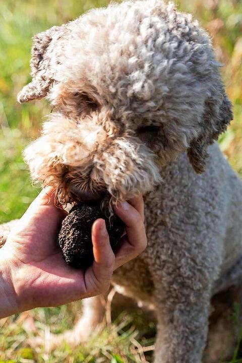 Ein Trüffelhund schnuppert an einem Trüffel  | Foto: Peter Steffen (dpa)