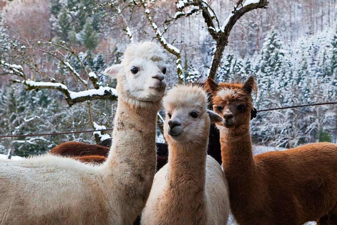 Im Schnee fühlen sich die Alpakas nicht sonderlich wohl.  | Foto: Photographer: Gabriele Zahn