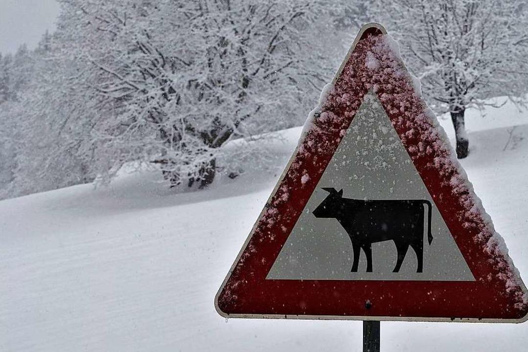 Schneekühe in Falkau  | Foto: Susanne Gilg