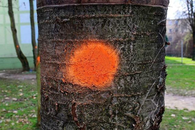 Freiburger Stadtbau lässt 60 Bäume fällen