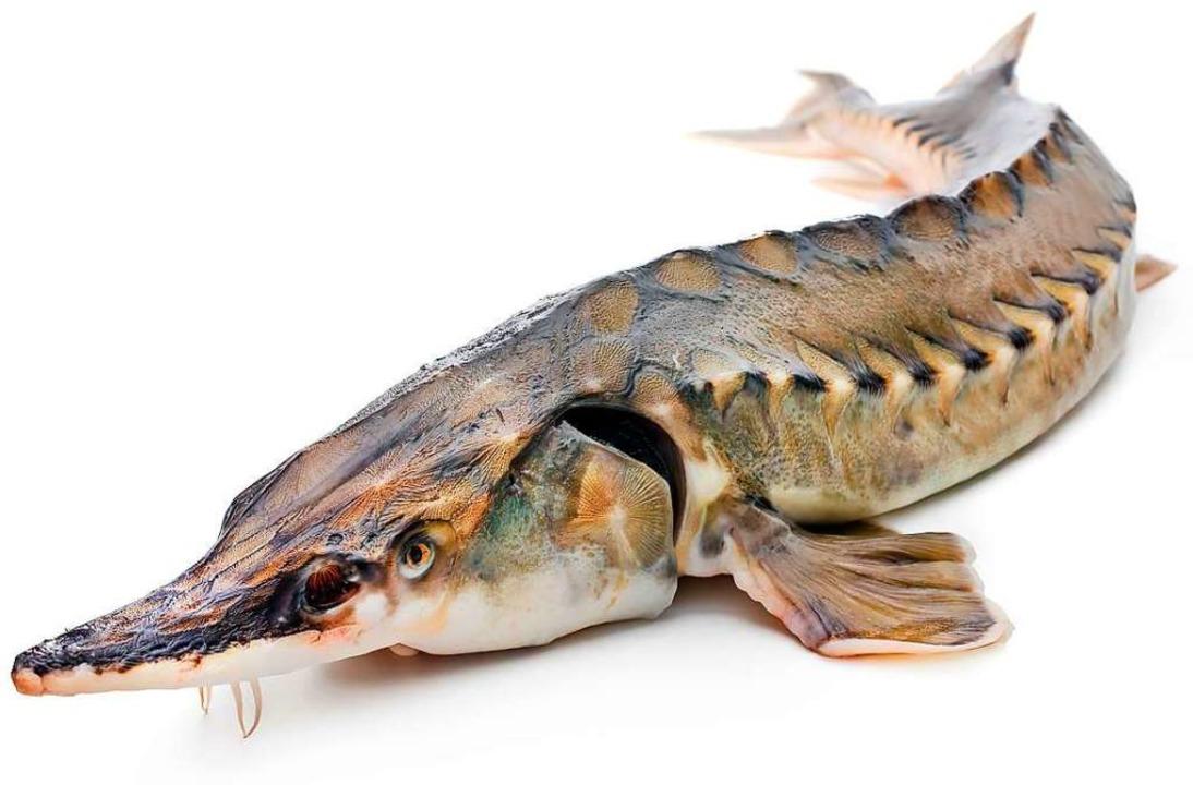 Der Stör ist stark bedroht. Mit Hilfe ...r Auswilderung und für die Aquakultur.  | Foto: Alexander Raths  (stock.adobe.com)