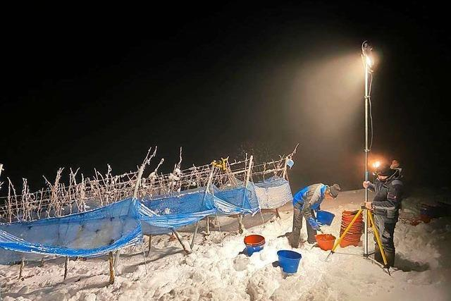 Kaiserstühler Eisweinlese im Tiefschnee – bei minus neun Grad