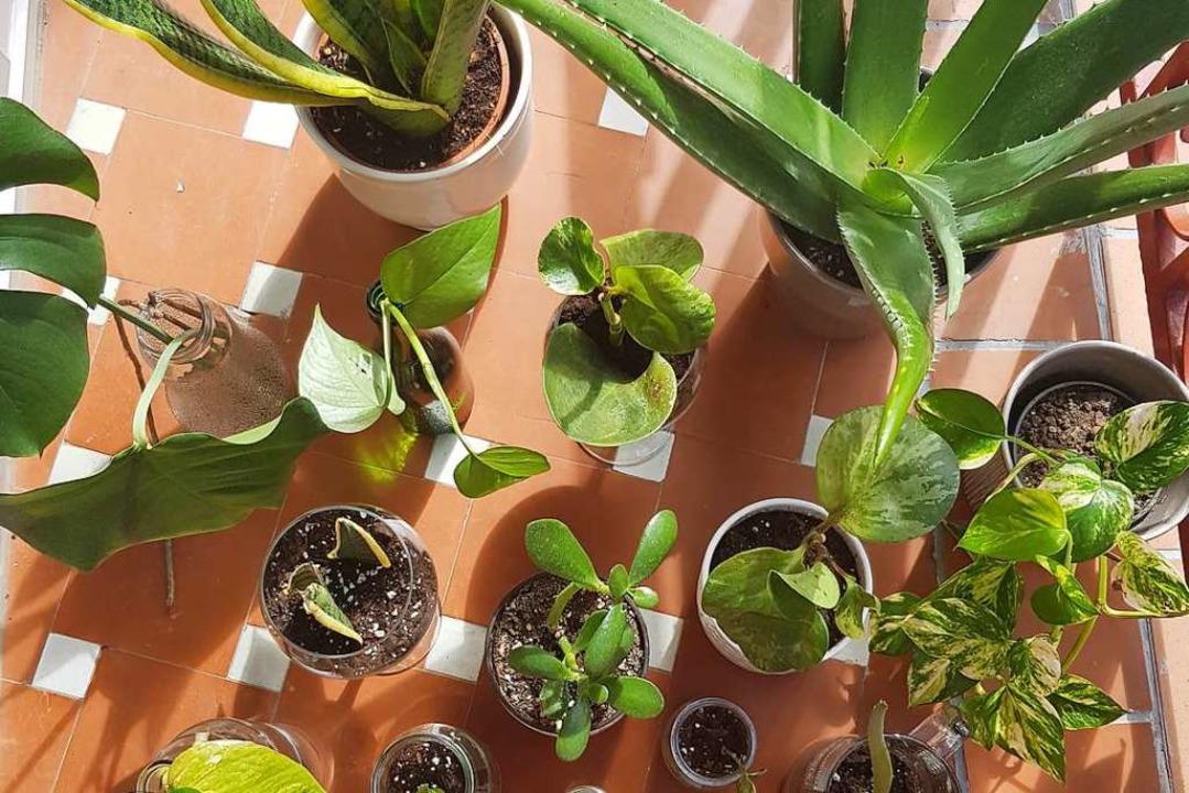 Start von fudders Pflanzenwoche. Jeden...Ableger, Umtopfen und Co. Let it grow!  | Foto: Claudia Förster-Ribet