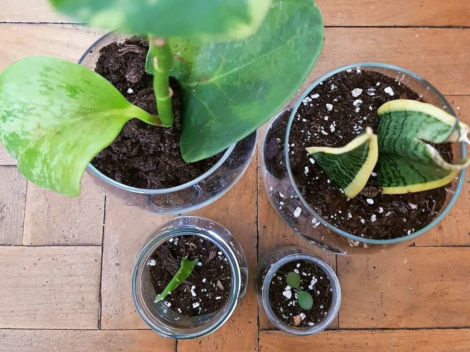 Wie züchte ich Ableger in Erde?  | Foto: Claudia Förster-Ribet