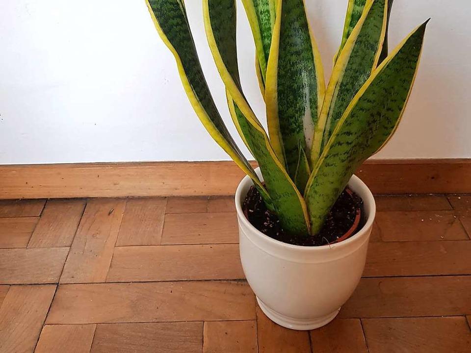 Wichtiger Schritt: Pflanze wählen. Hier als Beispiel eine Sansevieria  | Foto: Claudia Förster-Ribet