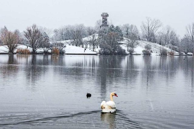 Blässhuhn und Schwan nehmen ein Winterbad im Flückigersee