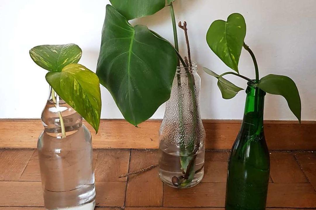 Tag 2: Wie züchte ich Ableger in Wasser?  | Foto: Claudia Förster Ribet